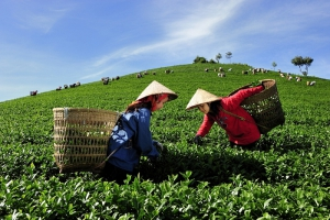 Vietnam's tea exports edge up 15.4 percent in 1st quarter of 2019